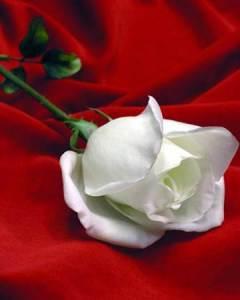La Rosa Blanca, para el amigo sincero...