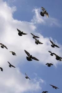 de aves palomas palomas volando   fotos   Animales   Aves