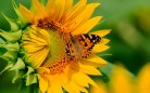 girasol-y-mariposa-sunflower-and-butterfly